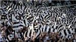 Juventus đoạt Scudetto thứ 6 liên tiếp, chỉ còn cách cú 'ăn ba' một trận thắng nữa
