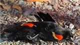 """Những chú chim hét ở Anh chết hàng loạt vì """"say rượu"""""""