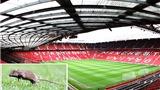 Sân Old Trafford bị... chuột tấn công: Nhà hát những giấc mơ hay... thùng rác?