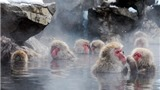 VIDEO: Đến công viên Jigokudani của Nhật Bản ngắm khỉ tuyết tắm suối nước nóng
