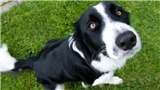 Chó có khả năng phát hiện ung thư vú