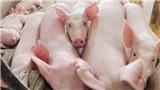 Lâu lâu lại giải cứu. Lợn gà và sữa tươi. Thanh long rồi dưa hấu...