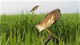 Phóng sự ảnh: Một đêm đi săn cò vì sở thích 'chim to dần'
