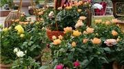VIDEO: Lễ hội hoa hồng Bulgaria có thể bị cắt ngắn xuống chỉ còn 3 ngày