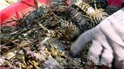 Tôm hùm vịnh Xuân Đài chết hàng loạt, bán rẻ như cho