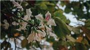 Hoa ban nở trắng vùng trời Tây Bắc