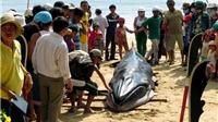 Cá voi lại dạt vào bờ biển huyện Bình Sơn