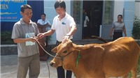 SHB Đà Nẵng tặng 5 con bò cho hộ nghèo