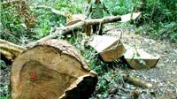 Khởi tố vụ án chặt xẻ thịt 13 cây dổi lớn ở rừng phòng hộ Vĩnh Thạnh, Bình Định