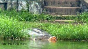 Xác Rùa Hồ Gươm sẽ được đưa vào Bảo tàng Thiên nhiên Việt Nam