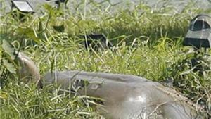 Rùa Hồ Gươm lên Tháp Rùa phơi nắng