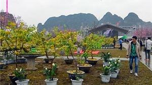 Đến Hạ Long ngắm hoa Anh đào Nhật Bản nở hoa bên Mai vàng Yên Tử