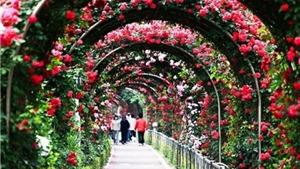 Hoa hồng Bulgaria chuẩn bị khoe sắc giữa lòng Hà nội
