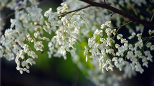 Lại gặp mùa hoa sưa