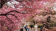 Du xuân Nhật Bản, tham dự lễ hội hoa anh đào
