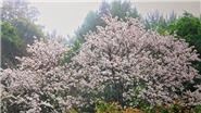 Lên Tây Bắc đắm chìm trong sắc trắng mùa hoa ban