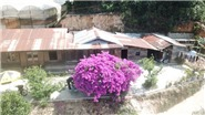 Cận cảnh cây hoa giấy cổ thụ gần 30 tuổi đang gây 'sốt' ở Đà Lạt