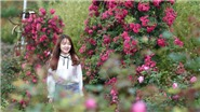 Triệu đóa hồng tô điểm thành phố trong mây Fansipan Legend